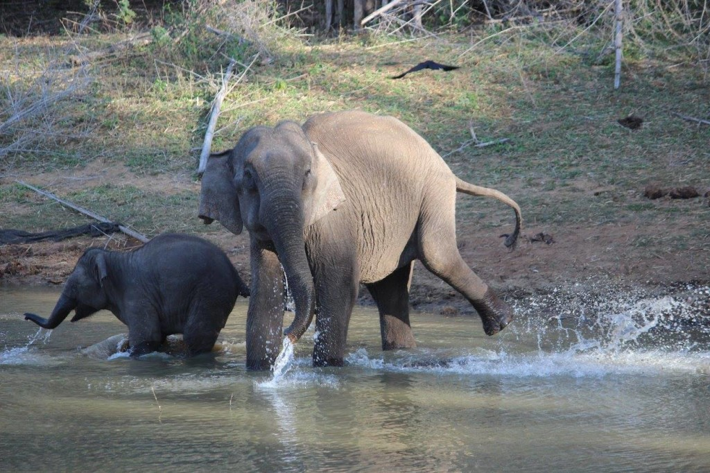 Elephants playing in water at Aiyur forest